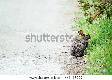 Bunny Rabbit by the Road