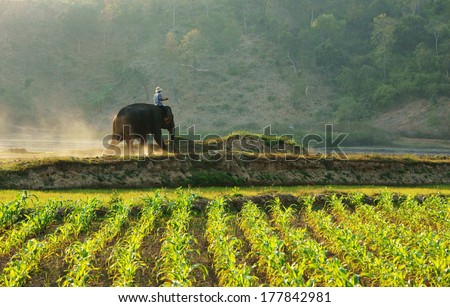 BUON ME THUOT, VIETNAM- FEB 7: Man rides elephant on path at countryside, dusty way by dust of soil, vegetable field in green at evening, mahout ride this animal for travel, Viet Nam, Feb 7, 2014