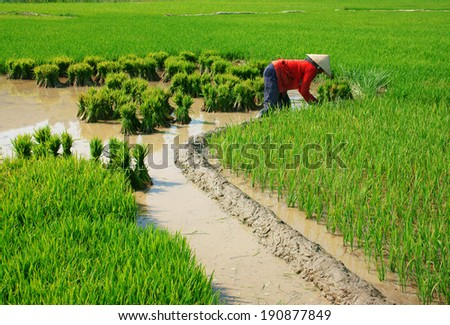 BUON ME THUOT- VIETNAM- FEB 7: Vietnamese woman farmer working on rice plantation, the green paddy field on mud, full of water, people work hard on agricultural farm in day, Vietnam, Feb 7, 2014