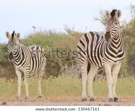 Burchell's Zebra as seen on a game ranch in Namibia - A Stallion and Mare watch the sun go down over yet another gorgeous African day. - stock photo