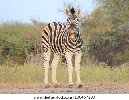 Burchell's Zebra as seen on a game ranch in Namibia - An astounding photo of a Stallion caught in the moment of a yawn.  Perfect teeth, and stripes, show off this great portrait that will inspire all. - stock photo