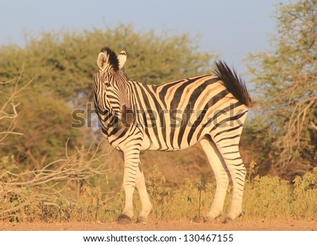 Burchell's Zebra as seen on a game ranch in Namibia - The herd Stallion looking over his herd at sunset. - stock photo