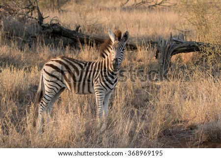 Burchell's Zebra Calf (Equus burchellii)  in Kruger National Park - stock photo