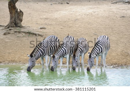 Burchell's Zebra (Equus burchell) drinking at a waterhole during a drought in Zululand, South Africa. The extreme water colour is caused by algal bloom - stock photo
