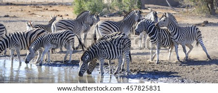Burchell's Zebra Equus burchelli jostle and fight for dominance at a waterhole in the bushveld - stock photo