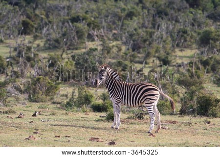 Burchell's Zebra (Equus burchellii) on scrub plains in Addo Elephant National Park, South Africa - stock photo