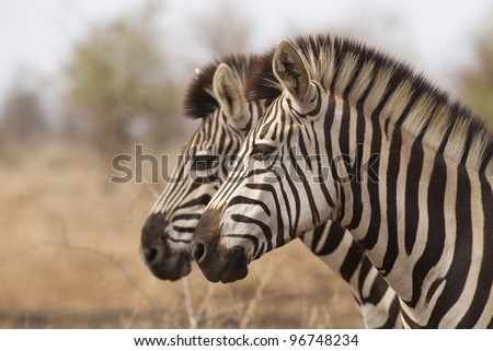 Burchell's Zebra (Equus burchellii) South Africa - stock photo