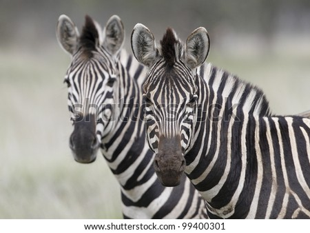 Burchell's Zebra (Equus burchellii), South Africa - stock photo