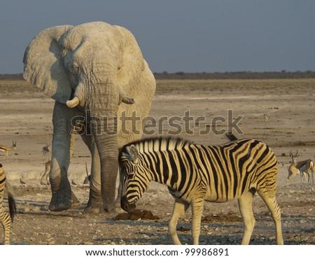 Burchell's zebra, Equus quagga burchellii and elephant Loxodonta africana. Ethosa. Namibia - stock photo