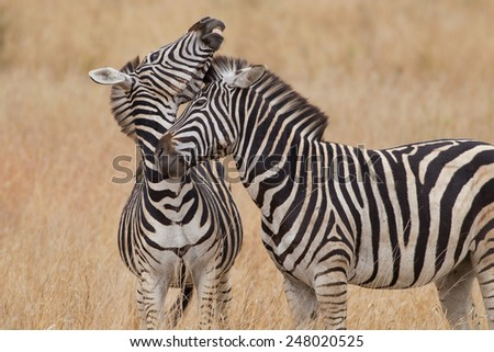 Burchell�s zebra - Mother and son - stock photo