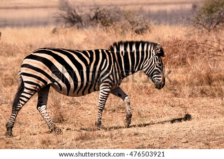 Burchellâ??s zebra moving through the dry winter growth