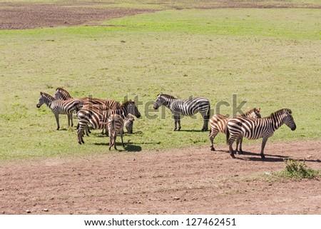 Burchell�s Zebras in profile graze on savanna pasture. Serengety National Park, Tanzania, Africa. - stock photo
