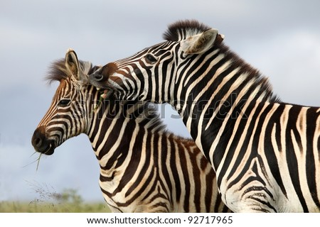 Burchells or plains zebras with one biting the other