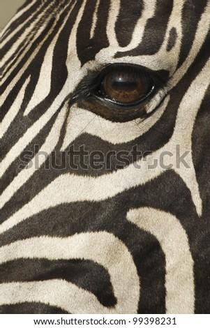 Burchells Zebra (Equus burchellii) portrait, South Africa - stock photo