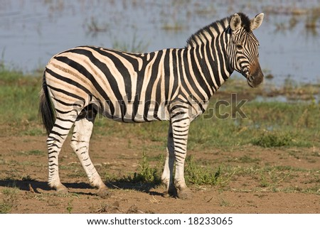 Burchells Zebra standing at the edge of Mankwe dam