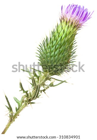 Burdock Blooming Bud Isolated on White Background - stock photo