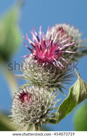 Burdock flowers on a blue dackground, macro - stock photo
