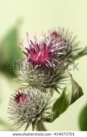 Burdock flowers on a green dackground, macro - stock photo