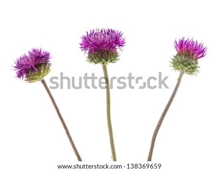 burdock flowers on a white background - stock photo