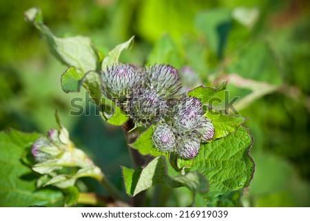 burdock plant closeup  - stock photo