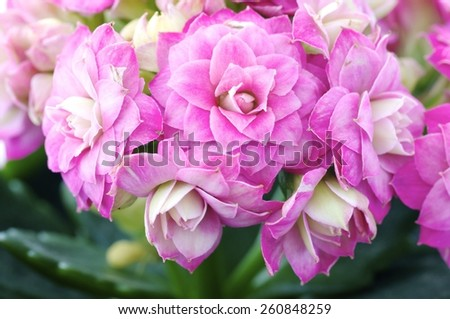 Burgeoning little wonderful pink flowers with buds. - stock photo