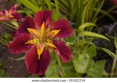Burgundy and Yellow Irish with a short depth of field creating a medium focus green leaf background - stock photo