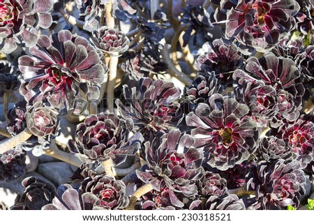 Burgundy black Dahlia flowers; natural background - stock photo