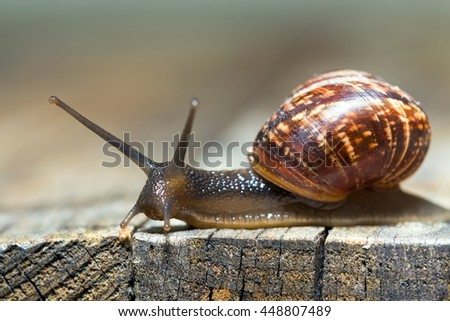 Burgundy snail aka Helix pomatia crawling on an old wooden surface - stock photo