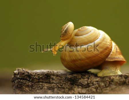 Burgundy snail - Helix pomatia - stock photo