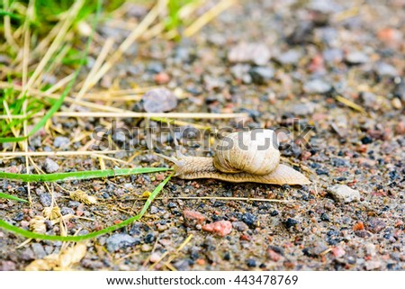 Burgundy snail (Helix pomatia) on a country road heading for the grass. Also known as Roman snail or edible snail. - stock photo