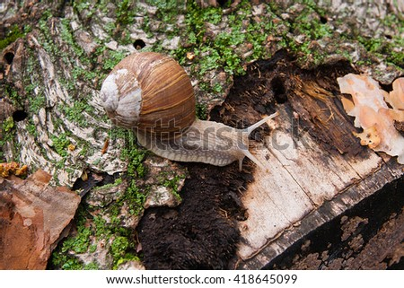 Burgundy snail (Helix, Roman snail, edible snail, escargot) crawling on its road. Close up view of tree bark with moss and fungus. Big snail on trunk of old tree. Green moss and mold on tree trunk. - stock photo