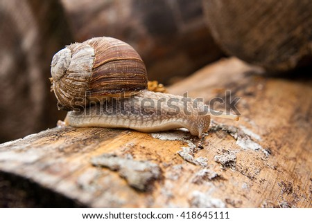 Burgundy snail (Helix, Roman snail, edible snail, escargot) crawling on its road. Close up view of big snail on the trunk of old tree. Mold growing on the old tree trunk. - stock photo