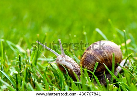 Burgundy snail in grass - macro photography