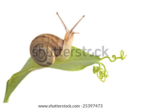 Burgundy snail on a leaf