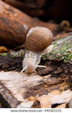 Burgundy snail (Roman snail, edible snail, escargot) crawling on its road. Close up view of brown tree bark with moss and fungus. Green moss and mold growing on the old tree trunk. - stock photo