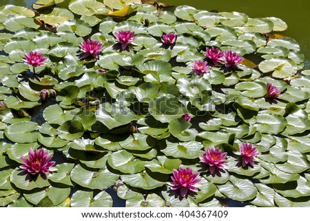 Burgundy water lily in a pond - stock photo