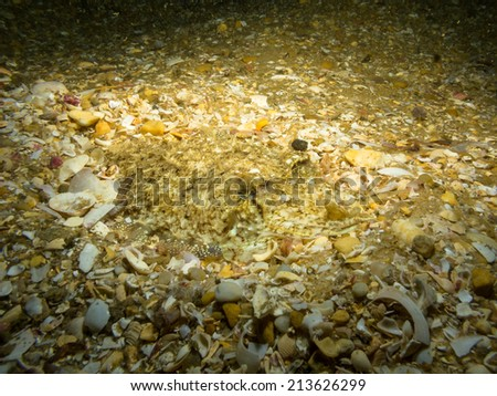 Buried cuttlefish - stock photo