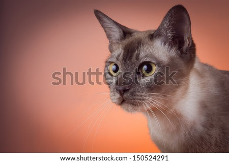 burmanskaya cat, Tonkinese, thai