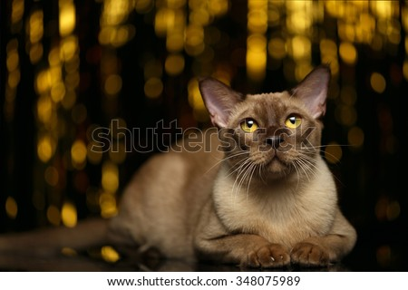 Burmese Cat Lies on golden happy new year background - stock photo