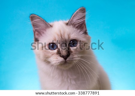 Burmese cat on a background isolated - stock photo