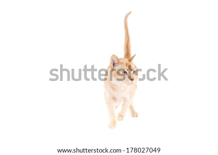 Burmese cat on a white background