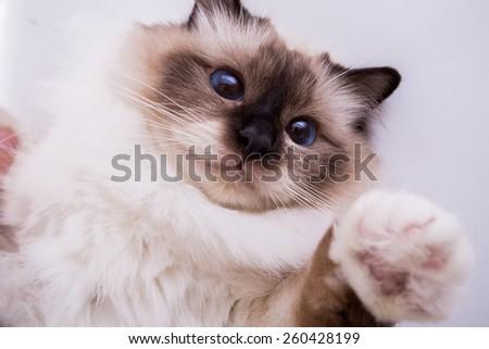 Burmese cat on a white background isolated - stock photo