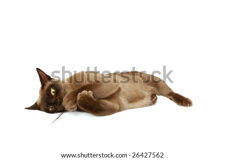 Burmese cat playing with feather - stock photo