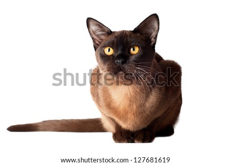 burmese cat portrait - stock photo