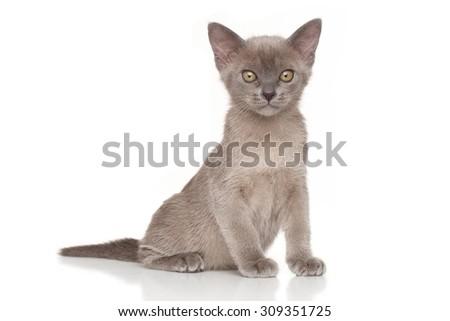 Burmese kitten in front of white background - stock photo