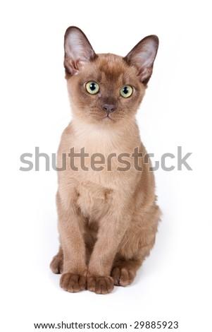 Burmese kitten on white background - stock photo