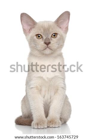 Burmese kitten posing on a white background - stock photo