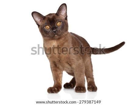 Burmese kitten posing on a white background - stock photo