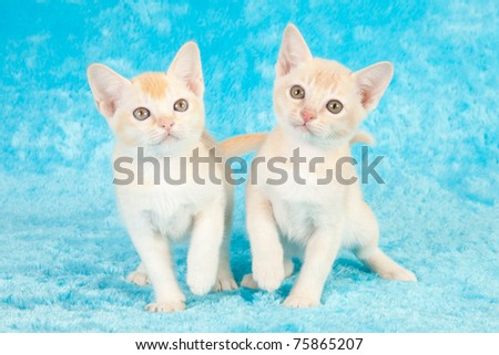 Burmese kittens on blue faux fur - stock photo