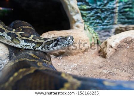 Burmese Python - stock photo